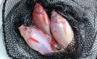 Пресноводная рыба Таиланда: путеводитель