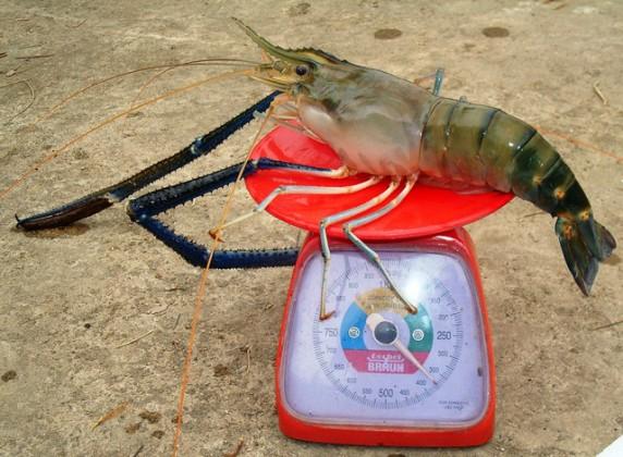 thai-shrimp-prawn-13-572x420.jpg