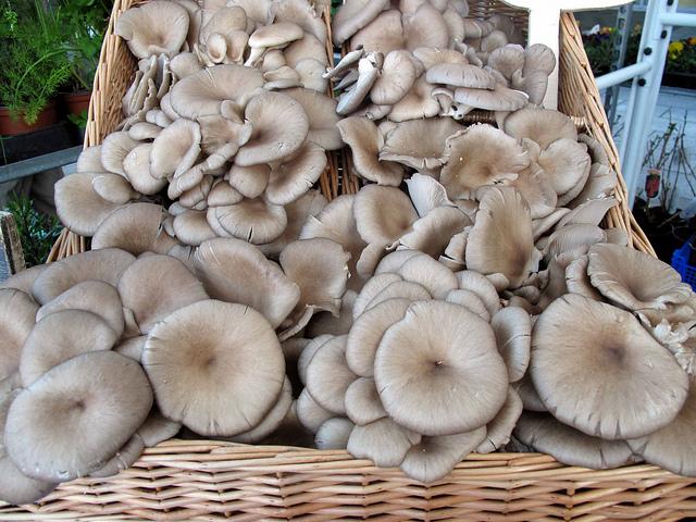 грибы лесные вешенки фото
