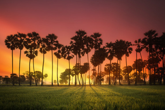 plod-saharnoy-palmy-toddy-palm-fruit (13)