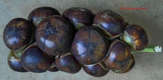 plod-saharnoy-palmy-toddy-palm-fruit (6)